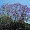 A jacaranda tree on Sixth Street.